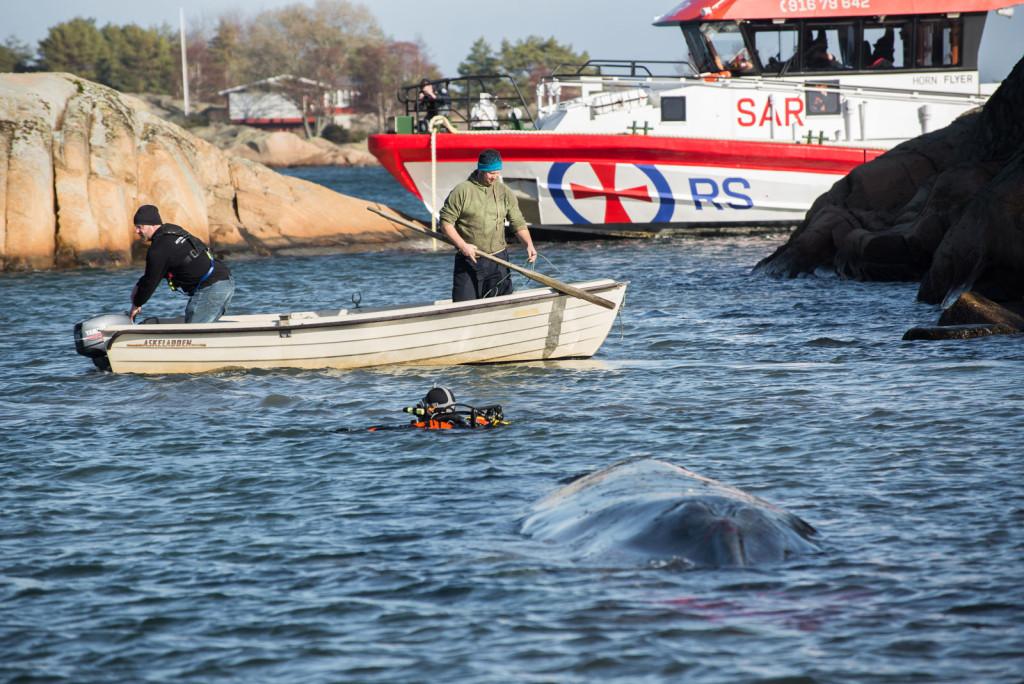 Dykkeren jobber med å feste tau til hvalen