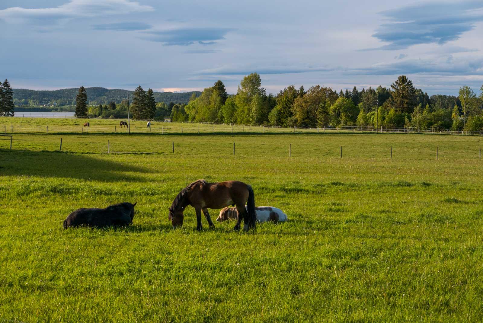Hester på beite i kveldssola.