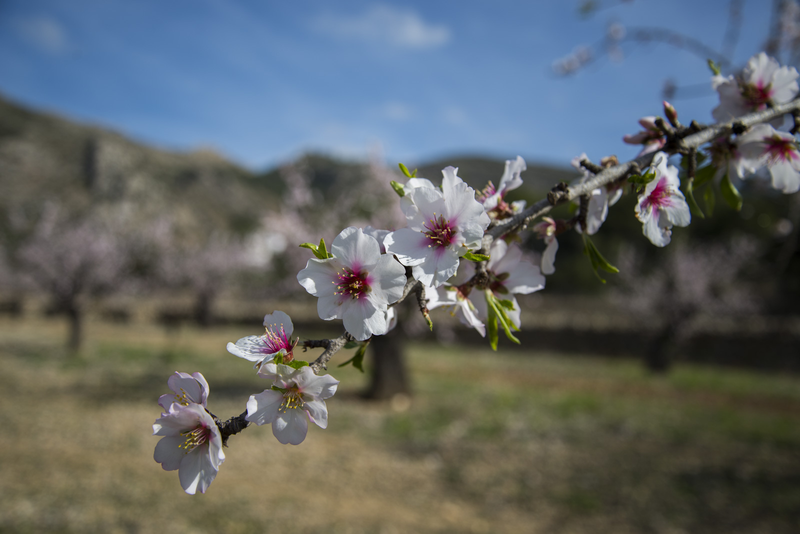 Mandeltrærne har både hvite, rosa og røde blomster