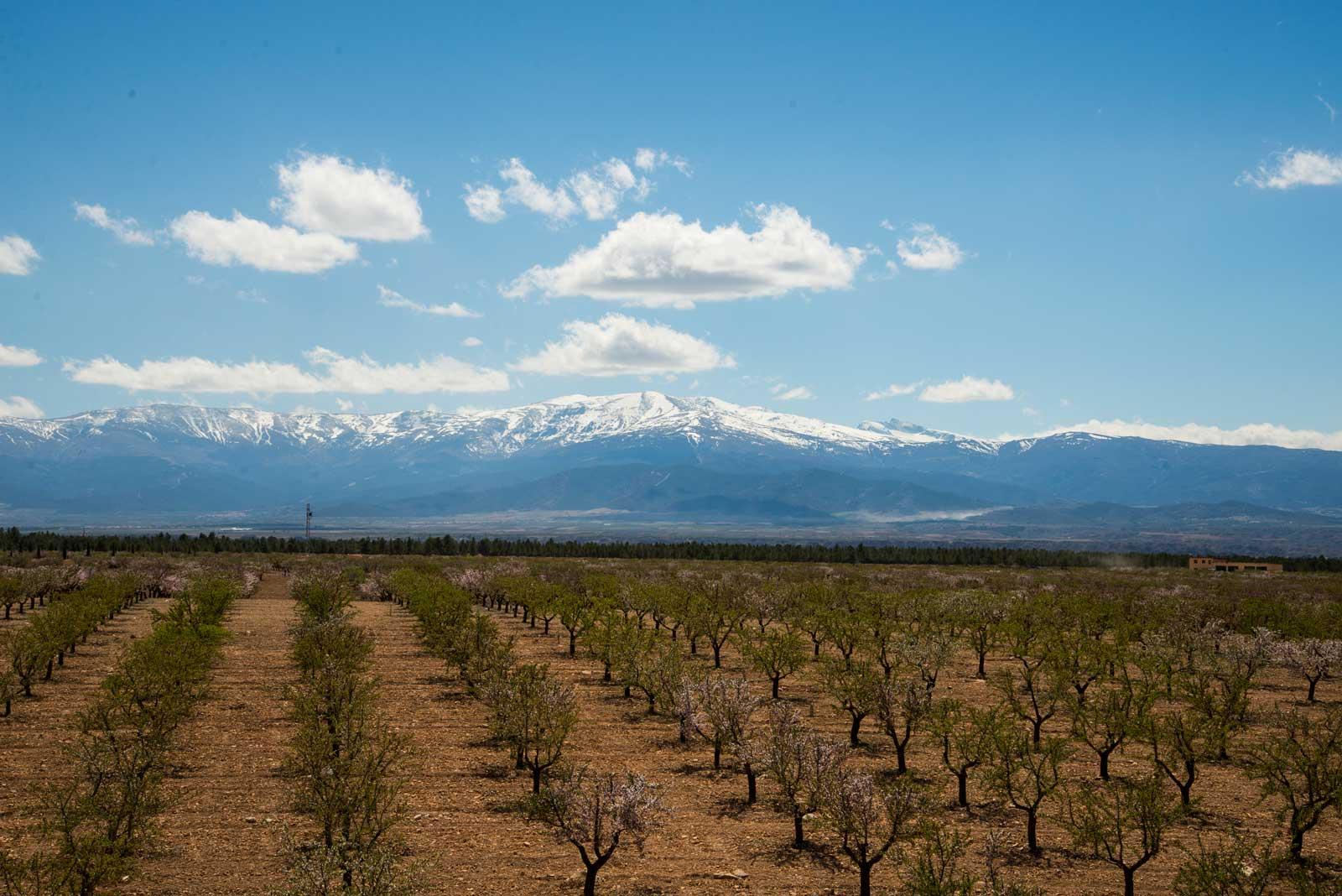 Store og symmetriske åkere med trær. Legg merke til fjellene i Sierra Nevada i bakgrunnen. Fortsatt snø der.