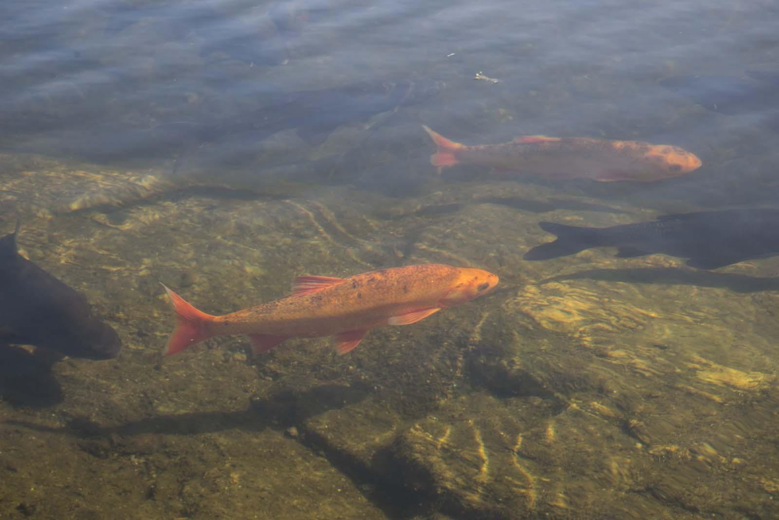 Gullvederbuken er godt synlig i vannet
