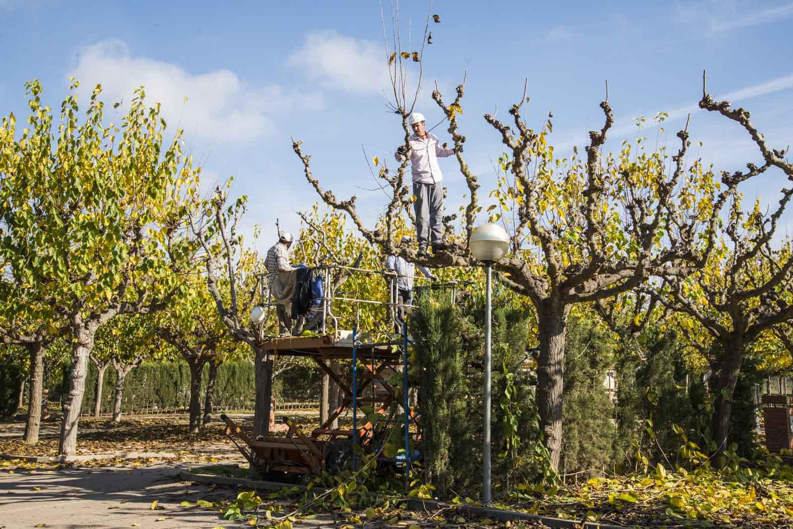 Et arbeidslag var i full sving med å beskjære trærne. Spansk effektivitet. 4 mann som klipte 10-12 trær om dagen
