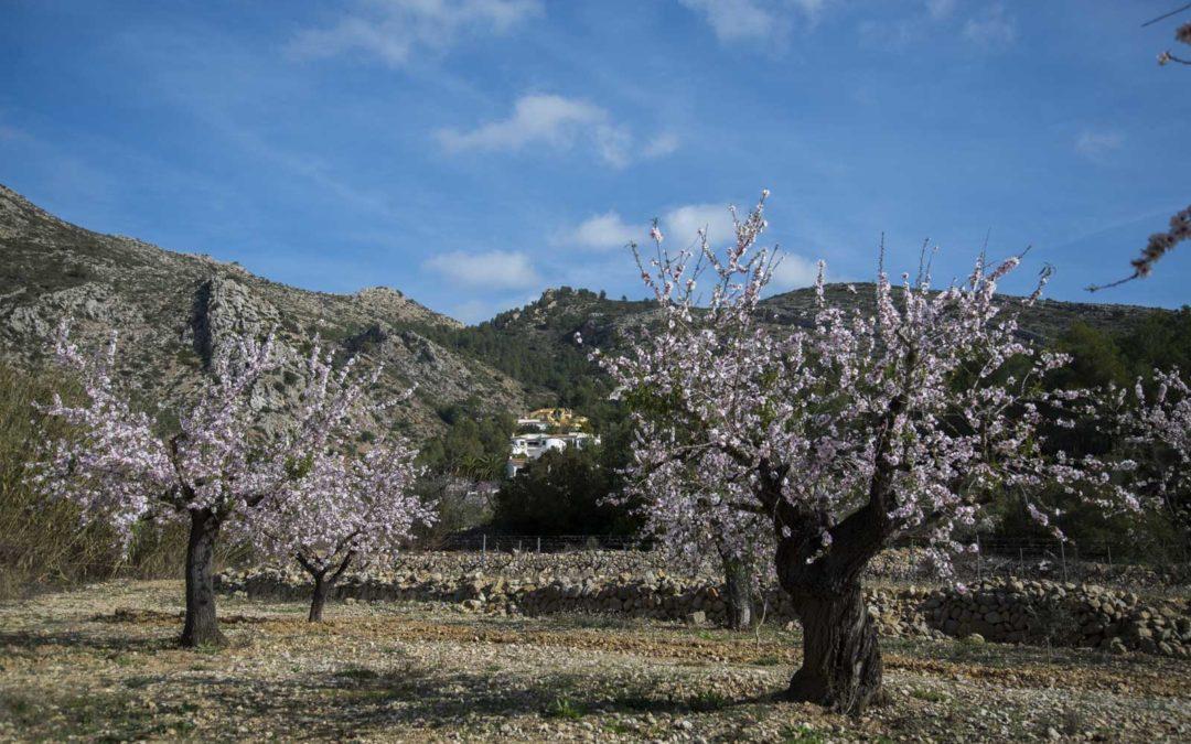 Mandelblomstring i Jalóndalen